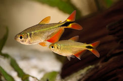 Group of buenos aires tetra Hyphessobrycon anisitsi tropical aquarium fish Stock Photography