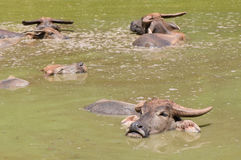 Group of buffalo. Group of thai buffalo in the marsh Royalty Free Stock Image