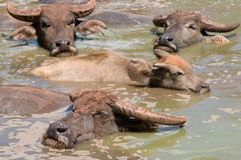 Group of buffalo. Group of thai buffalo in the marsh Stock Image