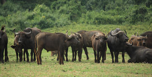 A group of buffalo Stock Images