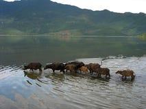 A group of buffalo Royalty Free Stock Image