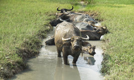 A group of buffalo are bathing in a swamp in summer thailand royalty free stock photography