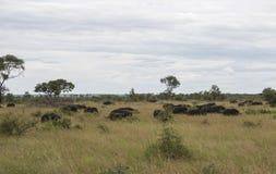 Group buffalo Stock Image