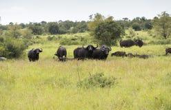 Group buffalo Royalty Free Stock Photo