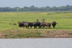 Group of buffalo in grass field stock photos