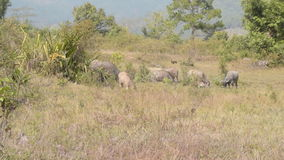 Group of buffalo grazing in the field. stock video
