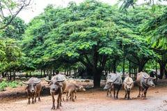 Group of Buffalo. Under the tree stock photos