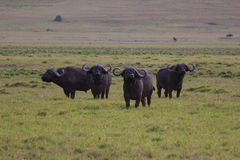 A group of buffalo watching out Royalty Free Stock Images