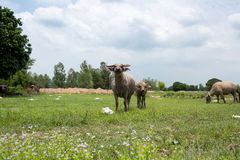 Group of buffaloes on the green field Royalty Free Stock Images