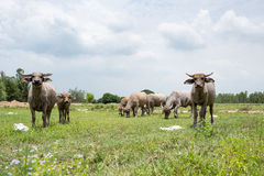 Group of buffaloes on the green field Stock Photos