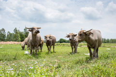 Group of buffaloes on the green field Stock Image