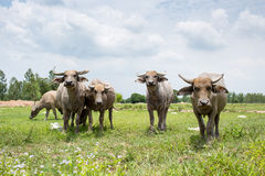Group of buffaloes on the green field Royalty Free Stock Image