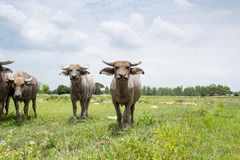 Group of buffaloes on the green field Royalty Free Stock Photos