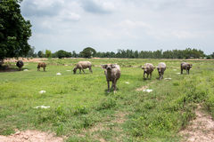 Group of buffaloes on the green field Stock Photography
