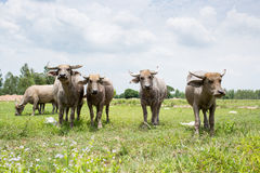 Group of buffaloes on the green field Stock Photo