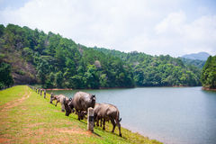 Group of buffaloes nearby the huge lake Royalty Free Stock Photo