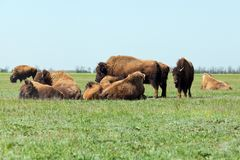 Group of buffaloes peacefully resting in the steppe. Shot made i. N reservation national park Askania Nova, Ukraine Royalty Free Stock Image