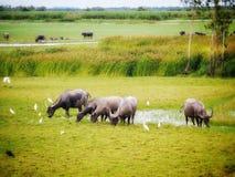 Many buffalos. Group of buffalos have lunch Stock Photography