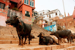 Group of the buffalos on the street of India Stock Photo