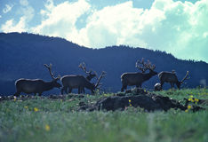 Group Bull Elk in Velvet. A big bull elk in velvet backlit on hill with wildflowers Royalty Free Stock Photography