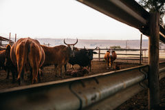 Group of bulls with horns in corral protecting the calfs on farm Royalty Free Stock Photo