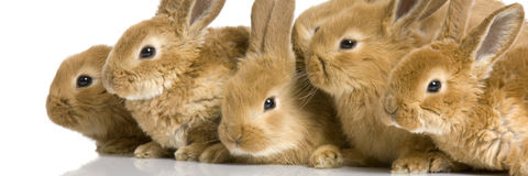 Group of bunnies. Scaredgroup of bunnies in front of a white background Stock Photo