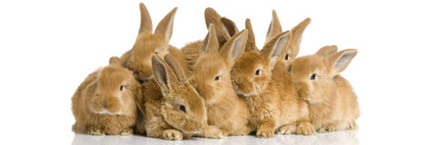 Group of bunnies. Scaredgroup of bunnies in front of a white background Stock Image