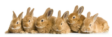 Group of bunnies. In front of a white background Royalty Free Stock Photo