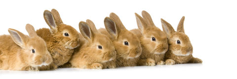 Group of bunnies. In front of a white background Royalty Free Stock Photography