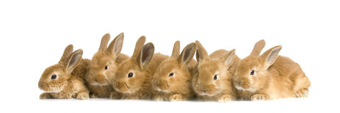 Group of bunnies. In front of a white background Stock Photo
