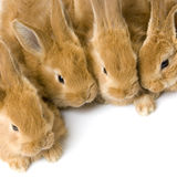 Group of bunnies. Close-up on a group of bunnies in front of a white background Royalty Free Stock Images