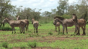 Group of Burchell's Zebra stock footage
