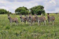 Group of Burchells Zebra Stock Photography
