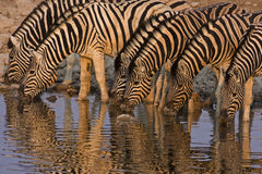 A Group of Burchells zebras at waterhole stock images