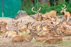A group of Burmese Brow-Antlered Deer Royalty Free Stock Photos
