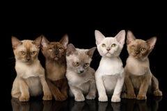 Group of Burmese Kittens on Black Background stock image