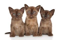 Group of Burmese kittens stock photography