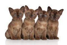 Group of Burmese kittens. On white background stock photo