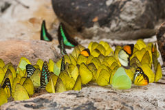 Group of butterflies feeding Royalty Free Stock Photo