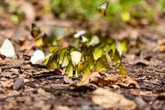 Group of butterflies puddling on the ground and flying in nature royalty free stock photography
