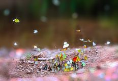 Group of butterflies puddling on the ground and flying in nature, Butterflies swarm eats minerals in Ban Krang Camp, Kaeng Krachan