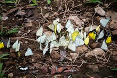 Group of butterflies puddling on the ground and flying in nature, Thailand Butterflies swarm eats minerals