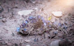 Group of butterflies puddling on the ground,Thailand Butterflies swarm eats minerals in Ban Krang Camp, Kaeng Krachan National