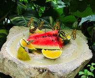 Group of butterflies. Sitting on watermelon and lemons Royalty Free Stock Photos