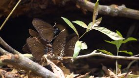 Group of butterflies try to get some food from minerals at Pang Sida. National Park at Thailand. Tropical area. Macro shot stock video footage