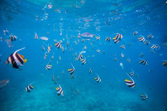 Group of Butterfly fish Royalty Free Stock Image