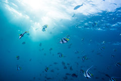 Group of Butterfly fish Royalty Free Stock Photos