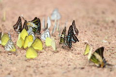 Group of  butterfly on the ground Royalty Free Stock Image