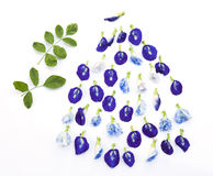 Group of butterfly pea flower and leaf Stock Photo