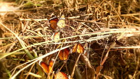Group butterfly swarm Hay stock video